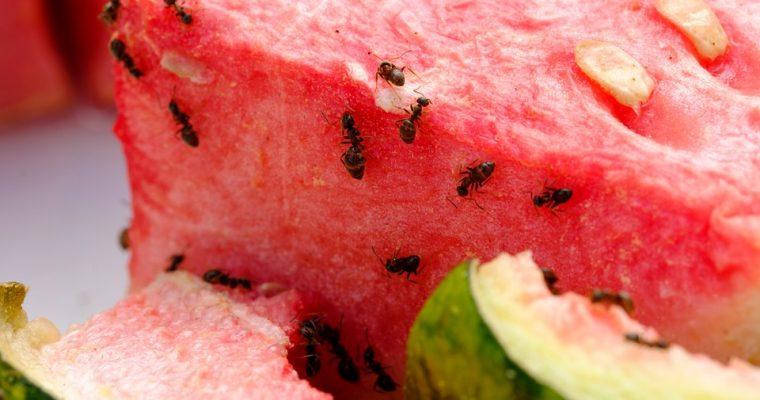 Ką daryti su skruzdėlėmis virtuvėje?